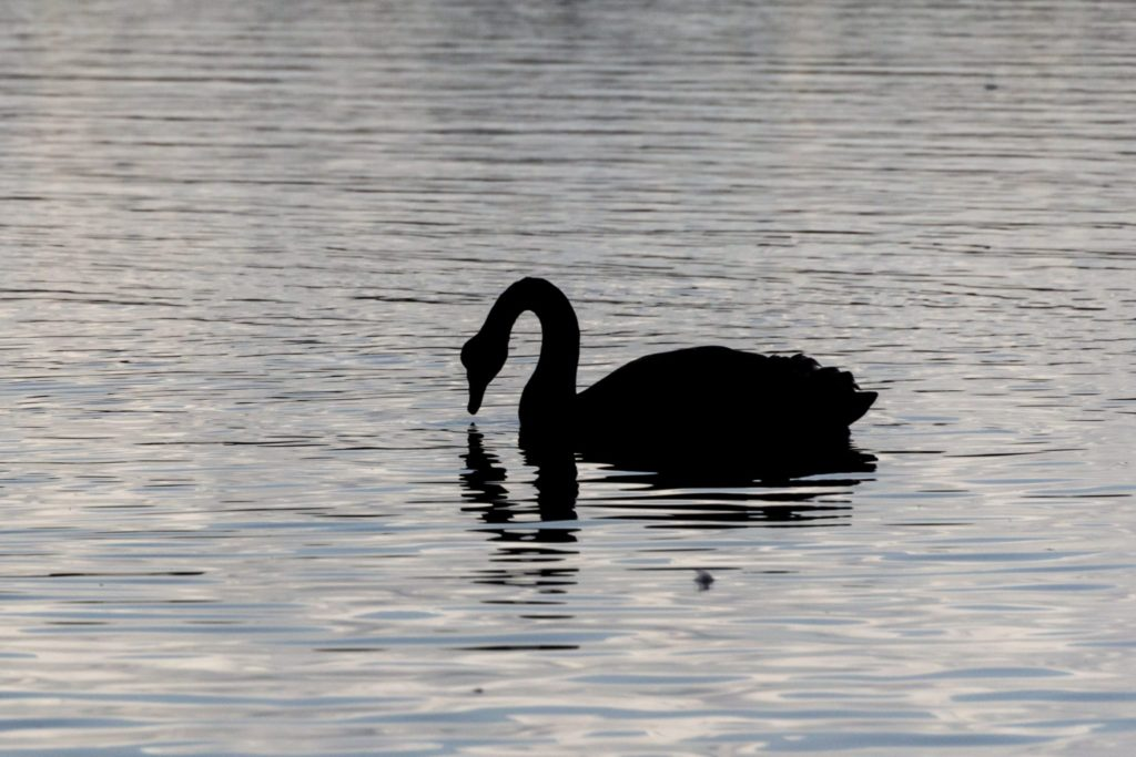 black swan swimming on lake